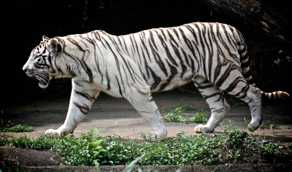 White Tigers on Earth Day